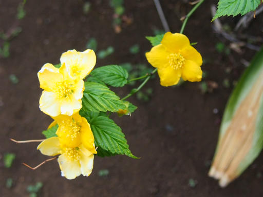 20160402・アルペン植物14・ヤマブキ