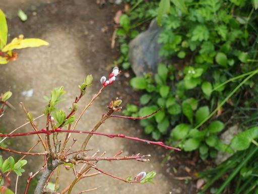 20160403・小手指植物06・ネコヤナギ