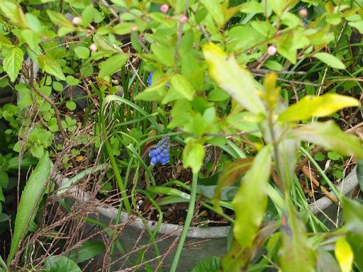 20160403・小手指植物07・ムスカリ