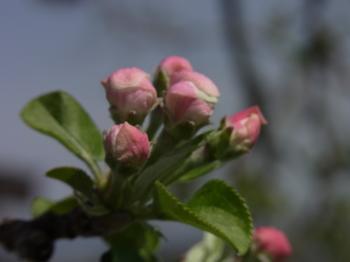 28.4.9 りんごの花 F