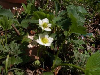 28.4.9 いちごの花