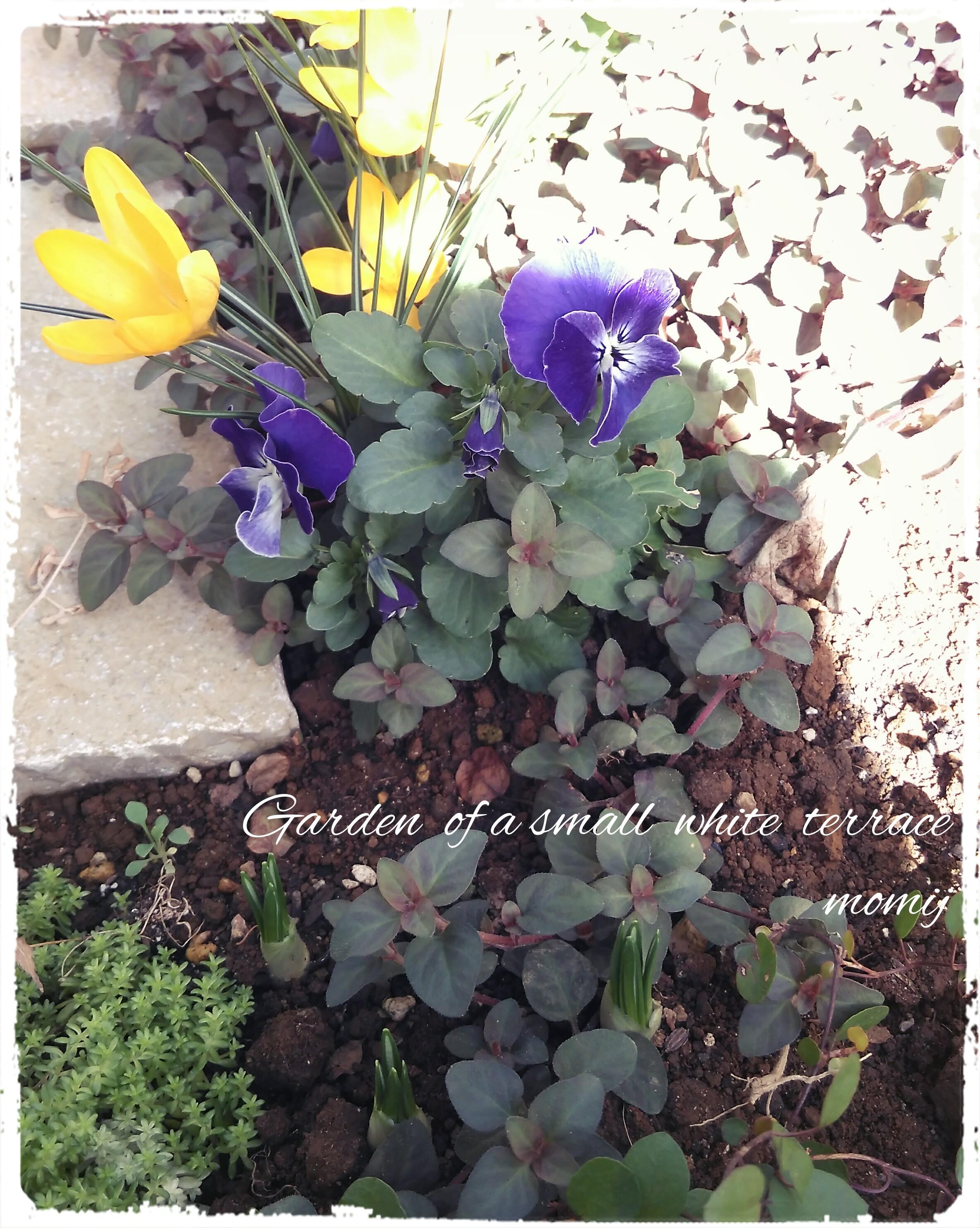 クロッカス 紫 芽