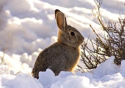 サバクワタオウサギ