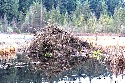 アメリカビーバーの巣