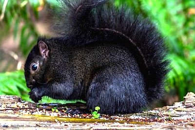 トウブハイイロリスの黒化個体