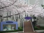 キャトルレーヴ入口の桜