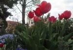 花のみちのチューリップ