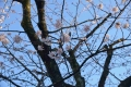三分咲き桜