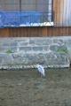 白川のゴイサギ