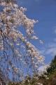 京都御苑桜_01_03