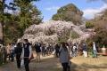 京都御苑桜_01_04