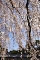 京都御苑桜_01_05