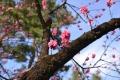 京都御苑桜_01_06