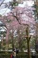 京都御苑桜_01_07