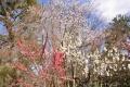 京都御苑桜_01_09