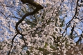 京都御苑桜_01_13