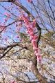京都御苑桜_01_14