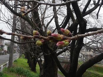 桜20160319