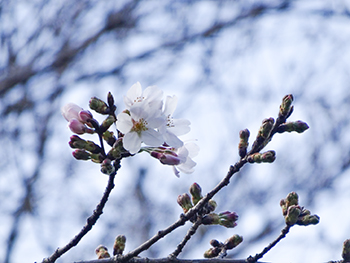 桜20160321