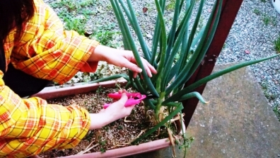 ベランダガーデニング家庭菜園で育ったネギを嫁が採取する写真