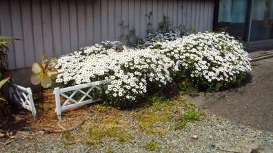 花壇のサクからはみ出て咲く春のアフリカンアイズの花たち1枚目の写真
