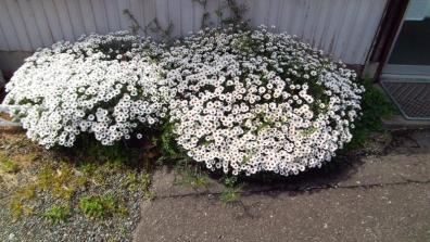 花壇のサクからはみ出て咲く春のアフリカンアイズの花たち2枚目の写真