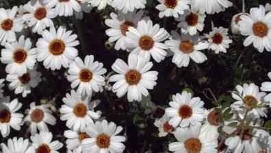 花壇のサクからはみ出て咲く春のアフリカンアイズの花をクローズアップ写真