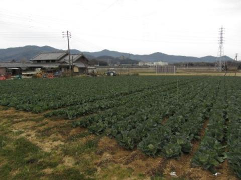 豊清町籠田のキャベツ畑