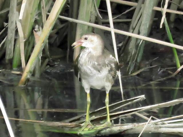 バン幼鳥05
