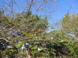 10月桜 全景