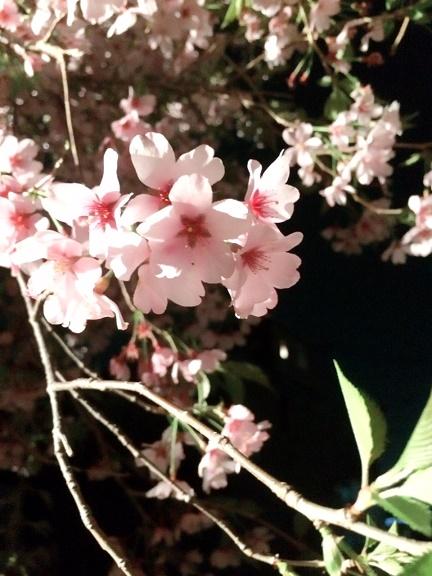 uchisakura.jpg