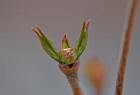 ヤマボウシ芽吹き