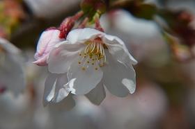 2016406桜写真