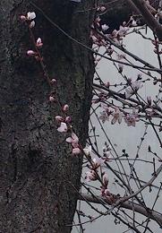 2016316ロトウ桜