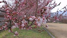2016330桜1