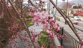 2016330桜3