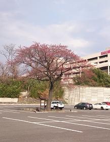 2016330桜4