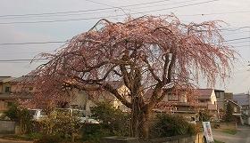 2016330桜5