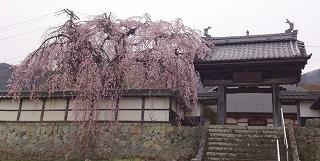 2016410大圓寺カタクリ2