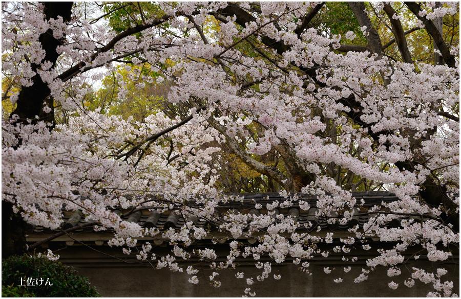 大阪城 桜3