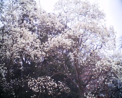 満開のハクモクレン・新宿御苑:R2