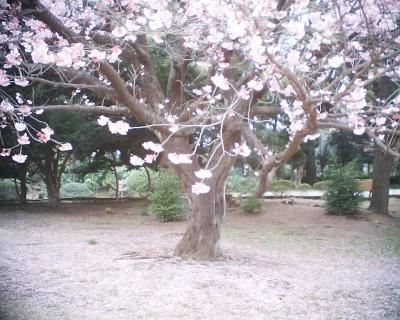 散り敷く寒桜・新宿御苑:R2