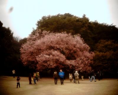 満開のカンザクラ・新宿御苑:Entry