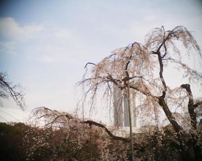枝垂桜(馬場桜)・小石川後楽園:R2