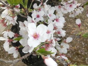 お城桜-2