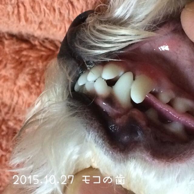 2015.10.27 モコの歯 プロバイオサイエンス1ヵ月20日目