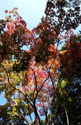 紅葉紅葉始まる2