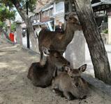 宮島の鹿3