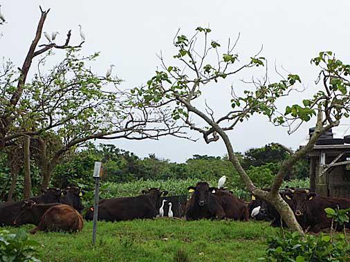 DSC03389 - 牛さん