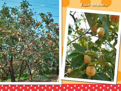 渋柿が熟しちゃうぅ~